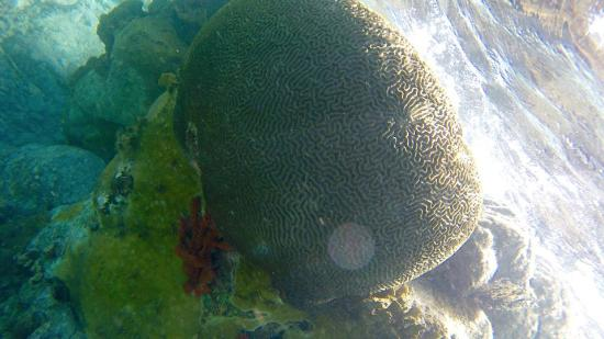 Oyster Pond, St. Martin: Brain coral