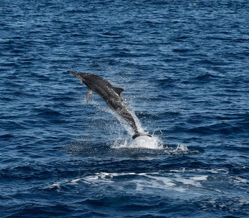 Kawaihae, HI: Spinner dolphin