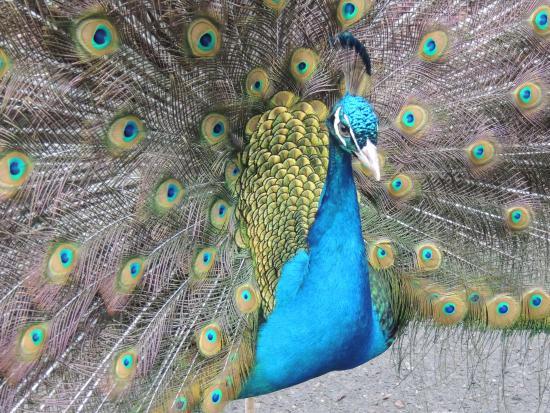 Tacoma, WA: Peacock roams the grounds at the Zoo.