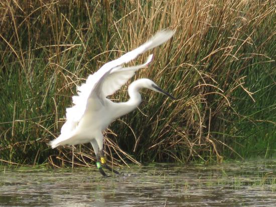 Seaton, UK: Egret?