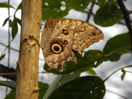 El Castillo, Costa Rica: farfalla 2