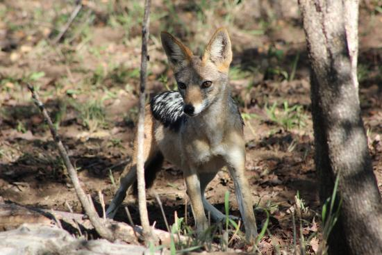 Shumbalala Game Lodge: Black Backed Jackal