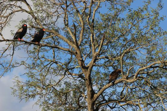 Shumbalala Game Lodge: Bateleurs