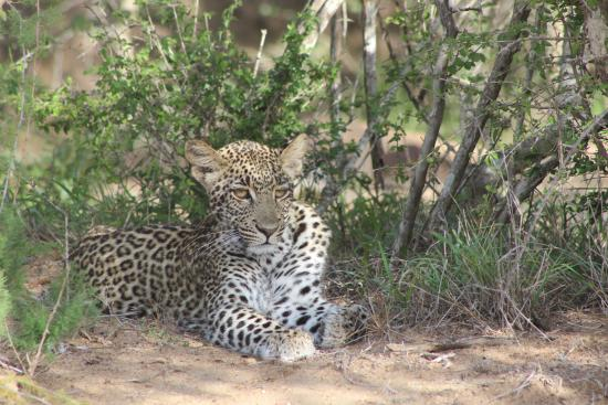 Shumbalala Game Lodge: Young leopard