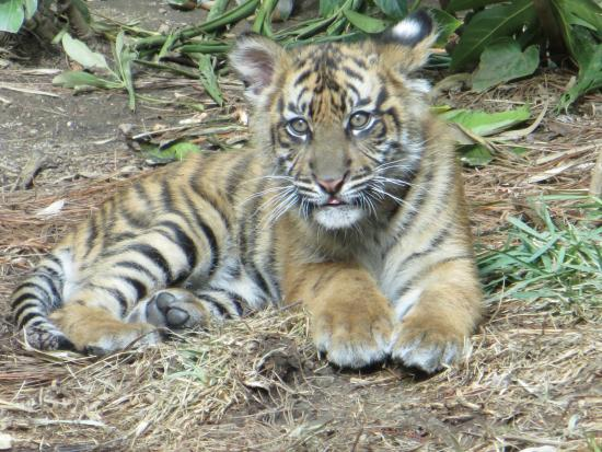 Эскондидо, Калифорния: Baby tiger.