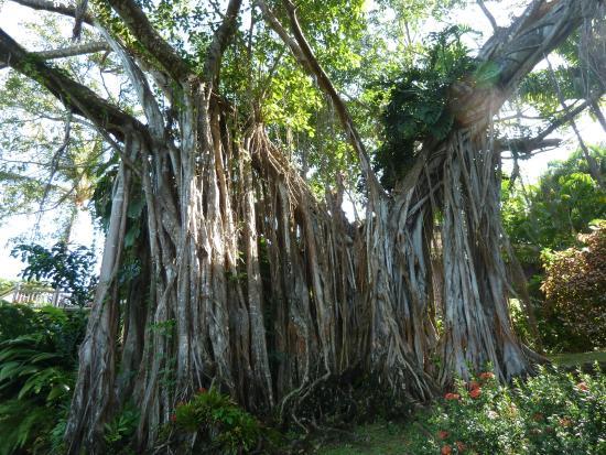 Deshaies, Guadeloupe: Le banian