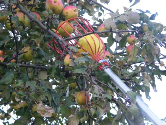 Kawartha Lakes, Kanada: Picking Apples