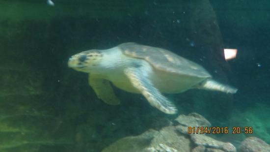 Manly, Australien: Love sea turtles