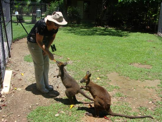 Diwan, Avustralya: Feeding the wallaby