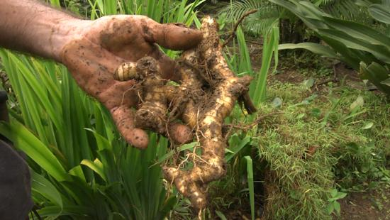 Chachagua, Kosta Rika: Ginger picked on walk