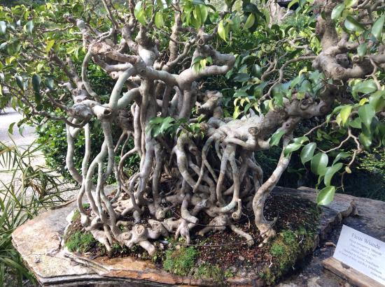 Morikami Museum & Japanese Gardens: Bonsai of a ficus - looks like naked humans!