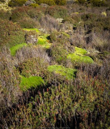 Ταζμανία, Αυστραλία: Pine Lake, Tasmania featuring Pin-Cushion plants
