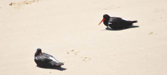 Yamba, Australia: Birds on Dart Island (oyster catchers)