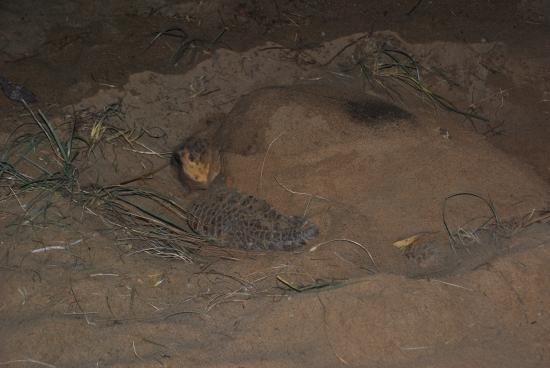 Bundaberg, Australien: Turtle ready to return to the sea