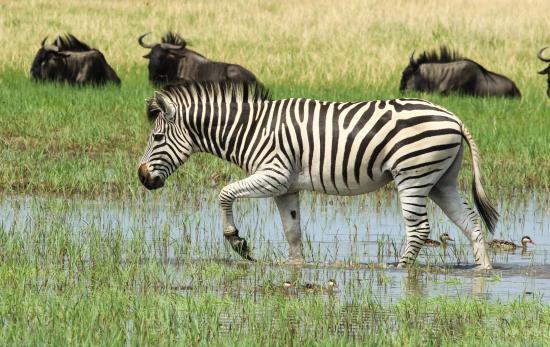 Hwange, Zimbabwe: Zebra and Wildebeest
