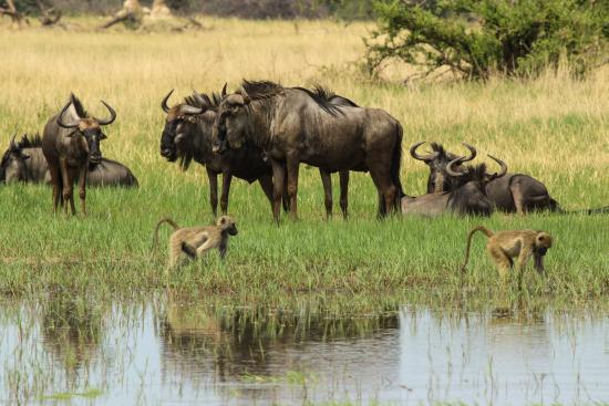 Hwange, Zimbabwe: Wildebeest and baboon
