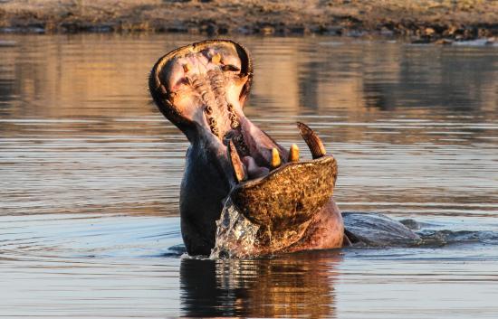 Hwange, Zimbabwe: Hippo