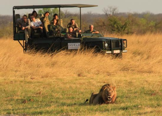 Nehimba Lodge: Lion on a game drive