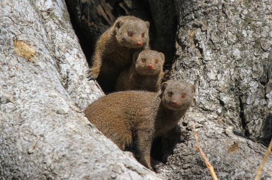 Hwange National Park, ซิมบับเว: Dwarf Mongoose in camp
