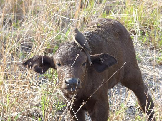 Londolozi Private Game Reserve, Sydafrika: Buffalo baby