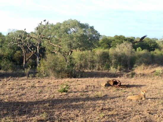 Londolozi Private Game Reserve, Sydafrika: lions eating buffalo