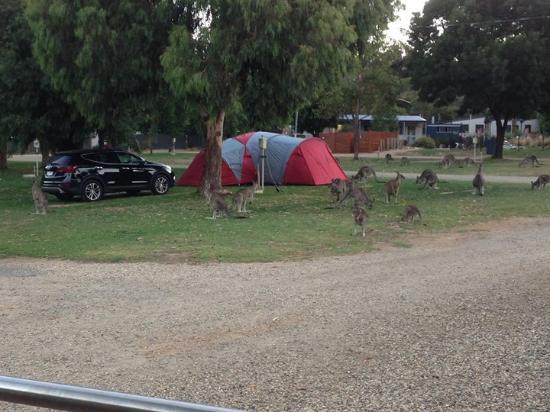 Halls Gap, Australia: Friendly guests!