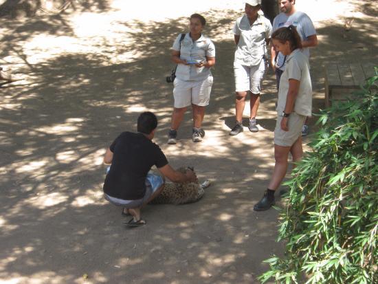 Oudtshoorn, Νότια Αφρική: Petting a cheetah