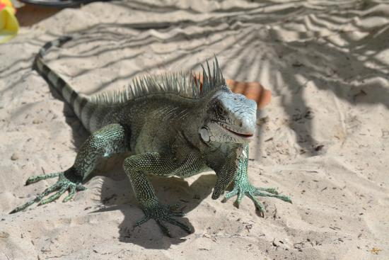 Sainte-Anne, กวาเดอลูป: Iguane