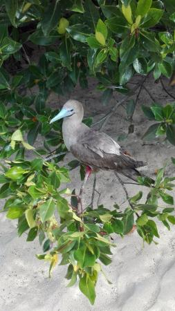 Genovesa, Ecuador: Red-Footed Booby