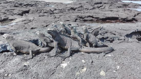 Fernandina, Ecuador: Marine Iquanas