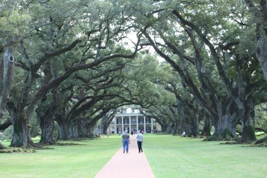 Vacherie, LA: Oak Canopy from Ground Looking back at the House