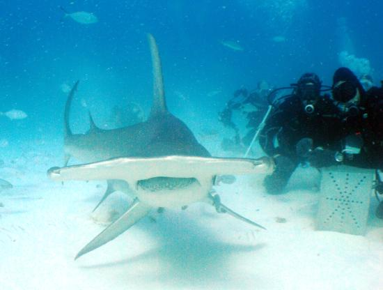 Bimini: Hammerhead dive