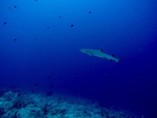 Semporna, Malezya: White-tip shark in Sipadan