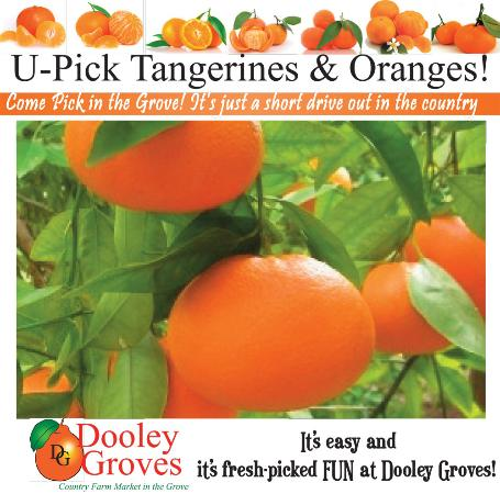 Dooley Groves : U-Pick Tangerines and Oranges March & April