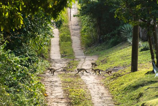 """Charlestown, Nevis: Some of the many monkeys we saw, crossing the """"road"""" in front of us."""