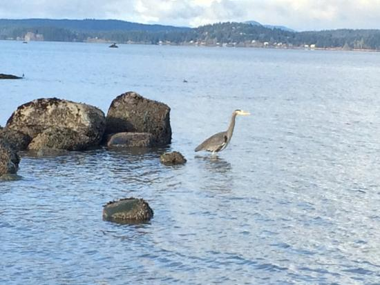 Campbell River, Canadá: A heron fishing for his dinner