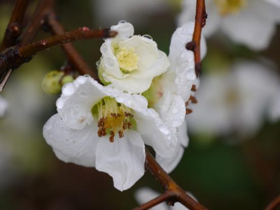 Badenweiler, Allemagne : Januarblüte im Park
