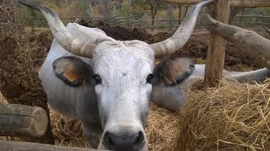 Magliano in Toscana, Italia: vacca maremmana