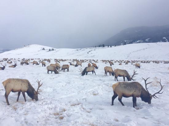 National Elk Refuge : photo1.jpg