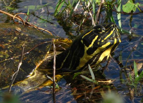 Florida City, FL: At least one beutiful turtle... In former years we´ve seen many of them.