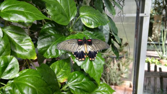 Tucson Botanical Gardens: In the butterfly exhibit. This guy landed on me for awhile.