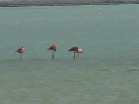 Kralendijk, بونير: Flamingos are everywhere. The live on Bonaire year round