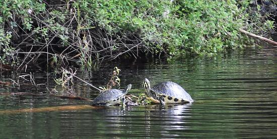 Венеция, Флорида: Logan River Tours / Cooter turtles