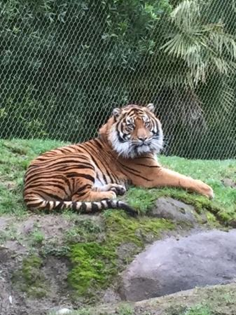 Tacoma, WA: I have never been this close to such a beautiful wild animal at any other zoo.