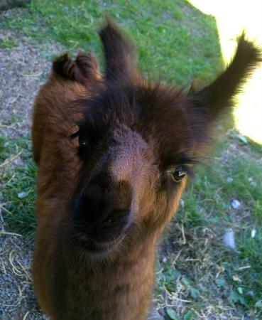Retiro Park Lodge: Michaelino, an orphaned alpaca