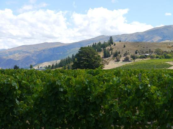 Cromwell, Nuova Zelanda: Picture of Wooing tree in Vineyard.