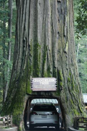 A car driving though the tree - Picture of Chandelier Drive ...