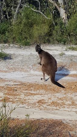 Seddon, Australia: крупный волаби или мелкий кенгуру