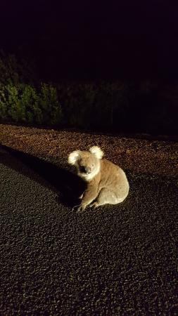 Seddon, Australia: коала на ночной дороге