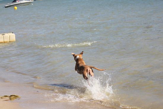 Bass Lake, Kalifornia: Dog playing fetch on the beach
